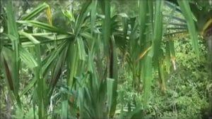 kandungan buah merah papua