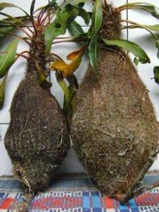 sarang semut merah buah merah papua